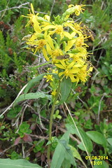 Mystery plant (Heiterwanger See) (davidshort) Tags: wildflowers 2014 tryol heiterwang heiterwangersee
