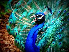 Beautiful Peacock (damselfly58) Tags: bird feathers peacock peahen