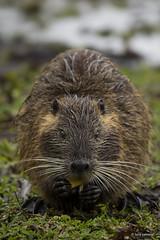 Myocastor coypus (luciapalmeiro) Tags: água riograndedosul nutria mamífero coypu roedor banhado ratão caxingui