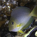 Sohal Surgeonfish, juvenile - Acanthurus sohal