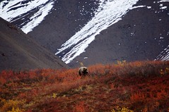Brown Bear - Denali National Park- Alaska (Alessandra Harumi) Tags: nature landscape wildlife ursos alasca