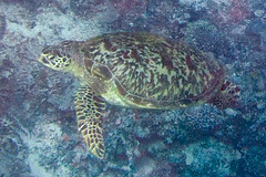green sea turtle Chelonia mydas (Paul and Jill) Tags: fiji snorkeling cheloniamydas yellowwall greenseaturtle lomaiviti wakaya korosea