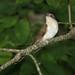 Black-billed Cuckoo. GMNH 7061. Cochran Shoals Unit, Chattahoochee River N.R.A., 16 May 2006. Photo by Dan Vickers