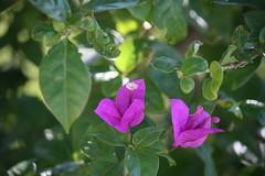 Três-marias belém-novense (Vagner Eifler) Tags: brasil natureza portoalegre riograndedosul belémnovo trêsmarias