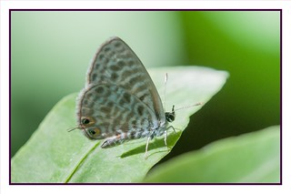 Leptotes Pirithous Butterfly