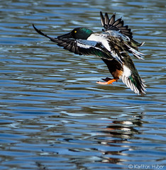 Northern Shoveler - 2309 (www.karltonhuberphotography.com) Tags: lake reflection male bird horizontal closeup flying bill duck inflight pond colorful peace action wildlife tail feathers peaceful content wetlands marsh ripples bathing southerncalifornia drake northernshoveler birdinflight 2014 birdphotography atease wildlifephotography northernshoveleranasclypeata interestingpose sigma150500mmos nikond7000 sanjoaquinwildliferefuge karltonhuber