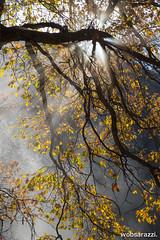 Morning's Meditation (Wobsarazzi.) Tags: fall nature fog morninglight fallcolor yosemite yosemitenationalpark oaktree cooksmeadow