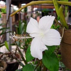 White hibiscus (jasonkaykl) Tags: white flower canon hibiscus a480
