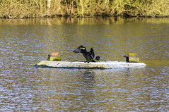 Cormorant (Triker-Sticks) Tags: england bird nature wildlife lincolnshire cormorant drying basking whisby