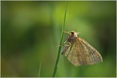 unknown moth (klaus.huppertz) Tags: macro animal fauna butterfly insect nikon wildlife moth falter makro insekt inchworm tier spanner looper sigma105mm d7000