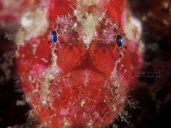 Frogfish (Randi Ang) Tags: bali macro canon indonesia photography underwater dive scuba diving powershot ang frogfish randi s110 tulamben
