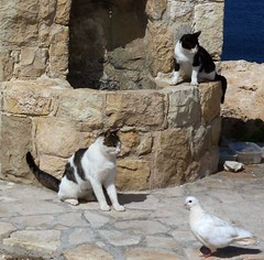 Cypriot cats, with the dove of peace passing by (sandaodiatiu) Tags: funny peace dove cyprus straycats whitedove doveofpeace outdoorcats cypriotcats