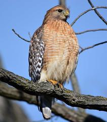 Red shouldered hawk (carpingdiem) Tags: birds indianapolis redshoulderedhawk