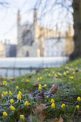 Cambridge Flowers (Scudamore's Punting Cambridge) Tags: morning flowers winter cambridge college university frost chapel crocus kings scudamores