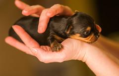 Baby Yorkshire Terrier Yorkie Puppy-3880 (houstonryan) Tags: dog pet baby cute yorkie puppy photography one ryan yorkshire adorable houston terrier tiny pup biggest handful yorkshier houstonryan