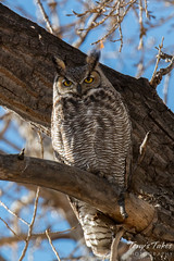 January 18, 2015 - A Great Horned Owl keeps watch in Thornton. (Tony's Takes)