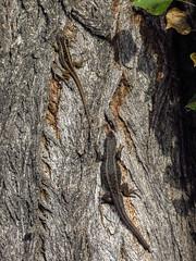 L. chiliensis + larva de chinita (Pablo Moreno V) Tags: chile canon lagarto lagartija reptil liolaemuschiliensis