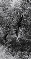 SDIM9427-sd1- Ulivi, Sorrento. Italia. (ciro.pane) Tags: italien italy del italia sigma punta sorrento bianco capo nero italie ulivi merrill foveon sd1