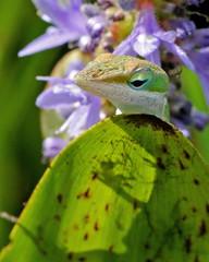Green Anole (Anolis carolinensis) on Pickerelweed (Pontederia cordata) (Mary Keim) Tags: centralflorida floridanativewildflowers tosohatcheewma taxonomy:binomial=anoliscarolinensis marykeim taxonomy:binomial=pontederiacordata