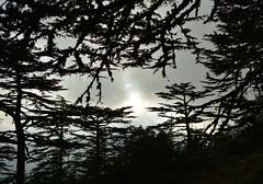 Cedars of Cyprus (orientalizing) Tags: sunset landscape cyprus cedars cypriot troodosmountains cedrusbrevifolia endemictrees cypriotcedars koiladatonkedron tripylosregion troodos  valleyofthecedars