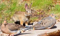 Busy backyard! (KWinters Photography) Tags: rabbit bunny nature grass birds animal yard backyard nikon colorado outdoor sigma hase doves