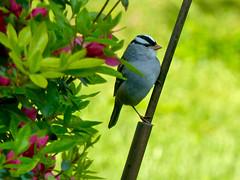 White-crowned Sparrow (Zonotrichia leucophrys) (WRFred) Tags: bird wildlife nature maryland montgomerycounty backyardwildlife sparrow washingtonwest