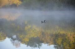 Love-in-the-Mist (hapsnaps) Tags: trees mist lake love water reflections spring pair ducks hampshire southampton southamptoncommon 2016 loveinthemist naturalframes tuftedducks fishinglake naturethroughthelens hapsnaps