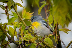 NorthernParula (jmishefske) Tags: park county wisconsin nikon downtown may lakemichigan milwaukee northern lakepark lakefront 2016 parula d800e