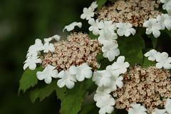 Teller-Hortensie (ingrid eulenfan) Tags: nature natur pflanze blte strauch tellerhortensie