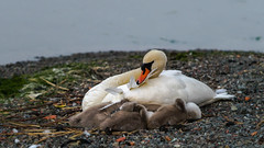 Sleeping well (redfurwolf) Tags: nature water swan stockholm sleep sthlm sonyalpha redfurwolf