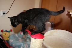 Gata Pucca (32) (adopcionesfelinasvalencia) Tags: gata pucca