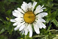Leucanthemum maximum (Zeldenrust) Tags: oxeyedaisy maxchrysanthemum margriet leucanthemummaximum bloem flower blume fleur flor flora hendrikvanzeldenrust vanzeldenrust zeldenrust natuurfotografie naturephotography flowerphotography chrysanthemummaximum