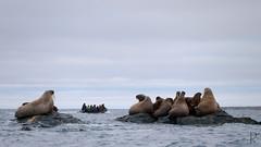 Hvalross er ogs flokkdyr (vandrende) Tags: svalbard walrus morse spitzbergen sjm hvalross storya svalbardandjanmayen
