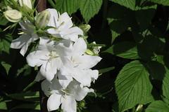 l'inconnue du jour ! nouvelle venue dans mon jardin , dont j'ignore le nom ! bonne semaine .... (fidber) Tags: jardin blanc campanule
