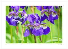 purple rain (Zino2009 (bob van den berg)) Tags: wild cold flower holland color green grass rain weather grey nice waterfront purple fresh deventer lisse bobvandenberg zino2009