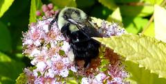 Bumblebee on Spiraea (Martin LaBar) Tags: flowers macro southcarolina bee bumblebee spiraea hymenoptera rosaceae pickenscounty