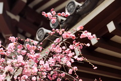 (lilacandhoney) Tags: voyage trip travel pink roof flower color tree nature colors beauty japan asian temple japanese spring shrine asia moments branch colours blossom peach memory bloom asie moment printemps japon ville prunus