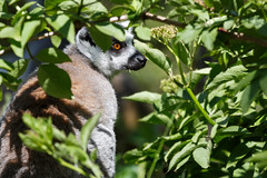Hidden in the bushes (greenzowie) Tags: mammal zoo edinburgh lemur edinburghzoo 2016 photographyworkshop greenzowie