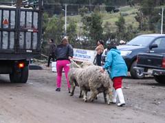"""Saquisili: les gros moutons du marché indigène <a style=""""margin-left:10px; font-size:0.8em;"""" href=""""http://www.flickr.com/photos/127723101@N04/27443119225/"""" target=""""_blank"""">@flickr</a>"""