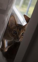 Fly Catchers 4 (peter_hasselbom) Tags: cats game window cat 50mm kitten play naturallight kittens usual abyssinian windowsill tuff ruddy twocats 2cats 19weeksold 2kittens huntingflies