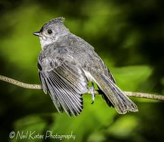 Tufted Titmouse_DSC1324 photoshop NIK edit  (nkatesphotography) Tags: nature birds wildlife tuftedtitmouse naturecenter peacevalleypark nikond4 fountainvillepa nikon200500mmf56