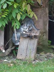 04062016N2 (starezubre) Tags: gatti giardino 2016 gattini mamme giocchi