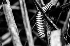 after rain (Saruta) Tags: animal millipede