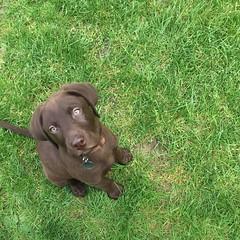 Chocolate Labrador puppy (hannahwiltshire) Tags: baby dogs beautiful puppy chocolate canine puppydog chocolatelabrador puppylife