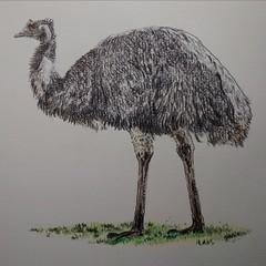 Emu (Esteban Candia) Tags: emu em dibujo dibujos draw drawings drawing illustration illustrations pencils pencil lapiz paper onpaper animal bird bigbird nature traditonalart