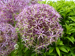 Alium  P1020959 (LesD's pics) Tags: flowers blossom blooms alium clumberpark