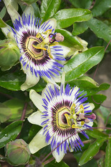 Passion Flowers (hans_polet) Tags: passiflora passionflower 105mm nikkor105mmf28gvrmicro