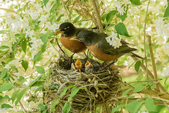 Happy Father's Day (rdroniuk) Tags: birds robin smallbirds chicks passerines americanrobin robinfamily robinhatchlings robinchicks turdusmigratorius oiseaux passereaux merle merledamrique familledesmerles