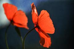tandem (C-Smooth) Tags: flowers red 2 wild two macro nature closeup fleurs petals flora nikon pretty delicious poppy poppies tandem plantae papaveri passione papaveraceae amapola csmooth stefanocabello