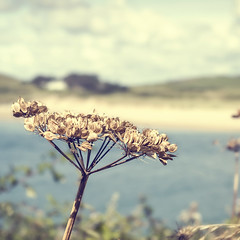 Padstow (Bruus UK) Tags: summer sky plant flower beach water clouds river landscape coast sand marine cornwall path walk dunes seed estuary camel coastal padstow forna